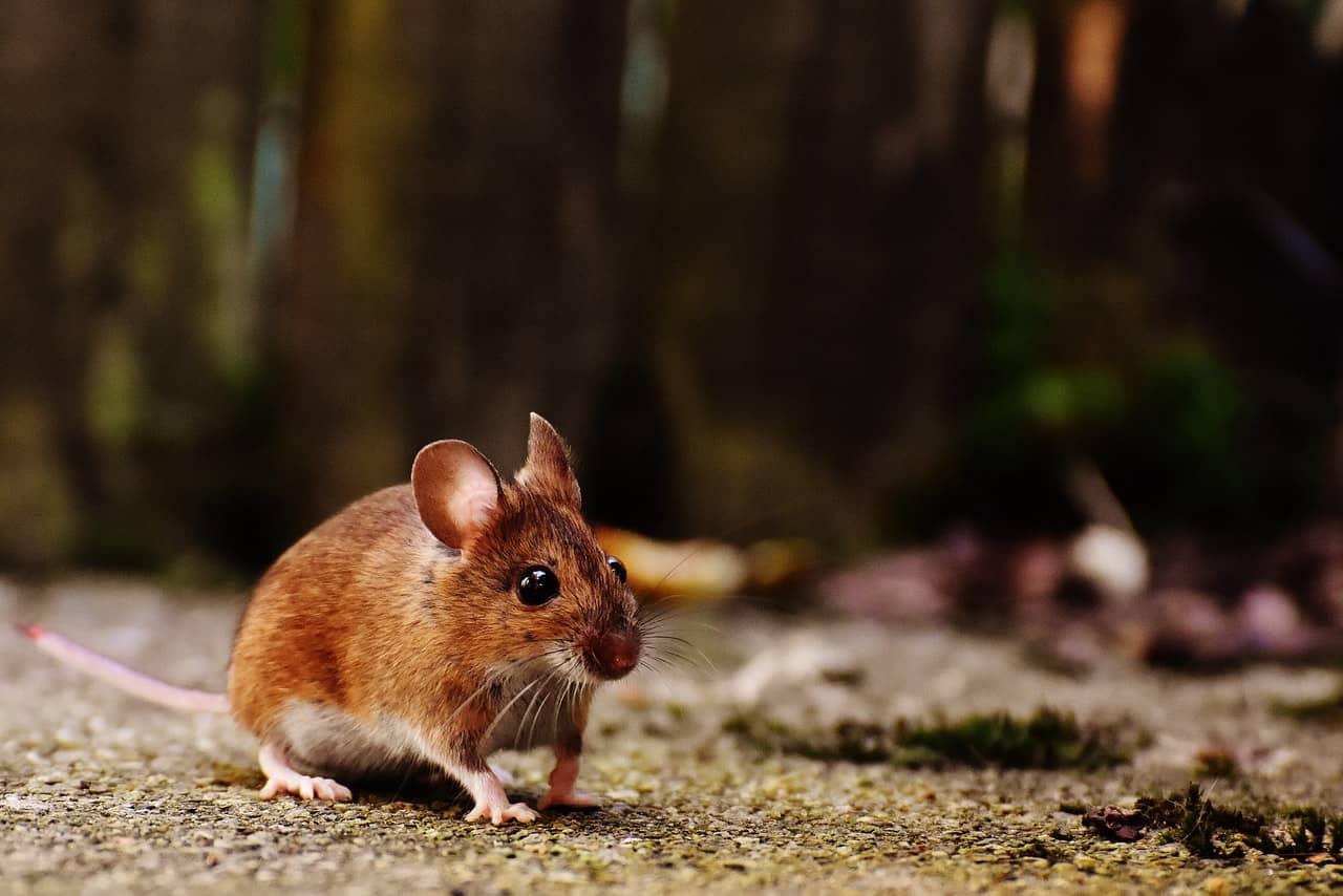 comment se débarrasser des souris